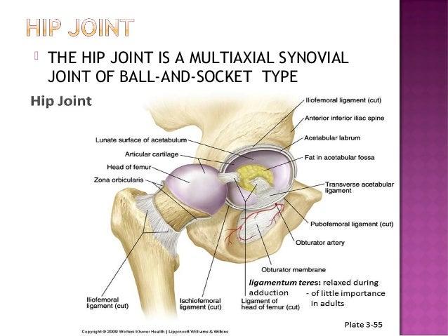 Hip Joint Anatomy And Its Biomechanics