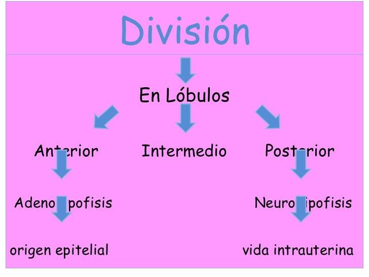 División <ul><li>En Lóbulos </li></ul><ul><li>Anterior  Intermedio  Posterior </li></ul><ul><li>Adenohipofisis  Neurohipof...