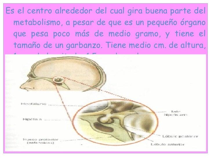 <ul><li>Es el centro alrededor del cual gira buena parte del metabolismo, a pesar de que es un pequeño órgano que pesa poc...