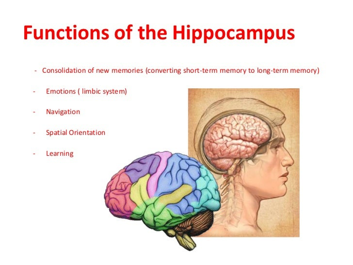 the functions of the hippocampus De hippocampus, ook wel het zeepaardje, is een belangrijk deel van de hersenen  behavioral and brain functions 1 (3)  maguire, ea, et al (2000.