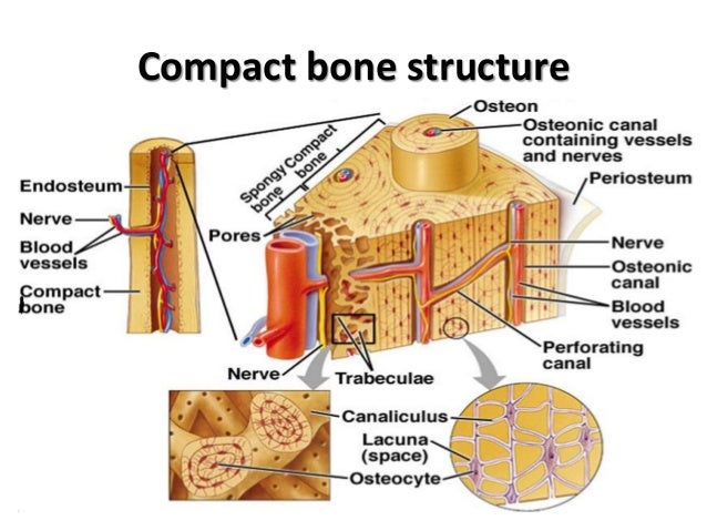 Histo – bone