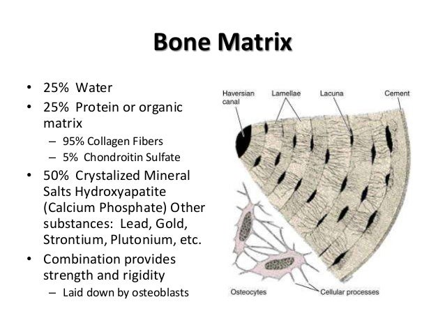 describe the cells and the key components of bones Bone matrix consists of an organic component, called osteoid, and an inorganic component comprised predominantly of hydroxyapatite crystals the main constituent of the bone proteoglycans have important roles in all stages of bone formation, including matrix mineralization and cell proliferation proteoglycans are.