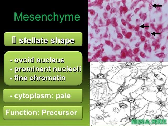 Mucous connective tissue cells        fibroblast             Delicate fiber       collagen fiber ground       mucoprotein ...