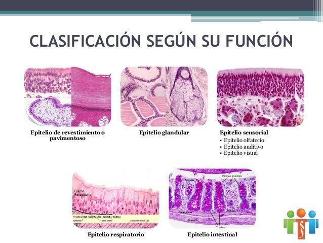 Epitelios con nombres específicos • Revestimiento epitelial del aparato cardiovascular Endotelio • Tapiza las paredes y el...