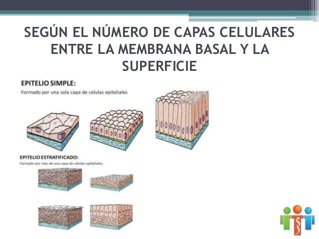 Para denominar al tejido epitelial: • El nombre lo da la célula de la superficie (forma) • Se determina el número de capas...