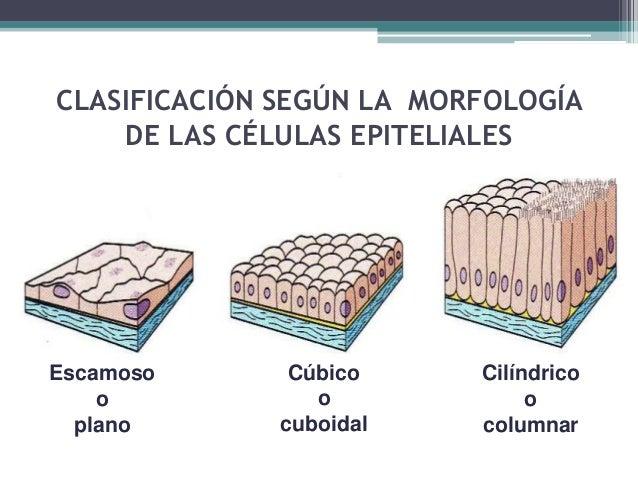 EPITELIO SIMPLE PLANO Glomérulo renal Pleura Alveolos Arteriola