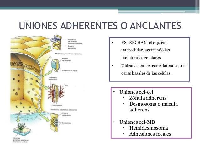 Membrana Basal: • que está ubicada junto a la superficie basal de las células epiteliales. Uniones Célula-Matriz Extracelu...