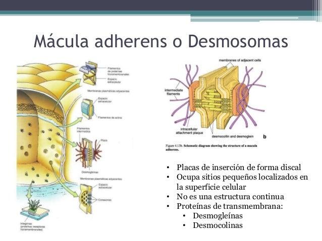 ULTRAESTRUCTURA DE LA MB Lámina lúcida • Glicoproteínas: Laminina 1,5 y 6, Epilegrina, Nidogeno y Entactina Lámina densa •...