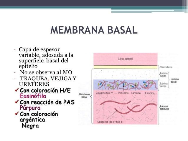 Adhesiones focales o contacto focal - Proteínas intracitoplasmáticas: α ACTININA, VINCULINA Y TALINA -Proteínas trasmenbra...