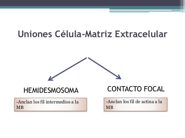 Glándulas .- Son células o cúmulos de células cuya función es la secreción Proceso por el cual ciertas células transforman...