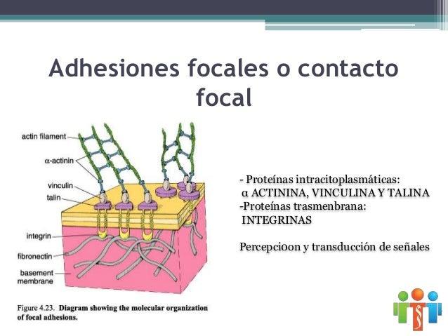 Mecanismo de secreción Merocrina .- se libera el product de secreción sin perdida de sustancia celular Apocrina.- parte de...