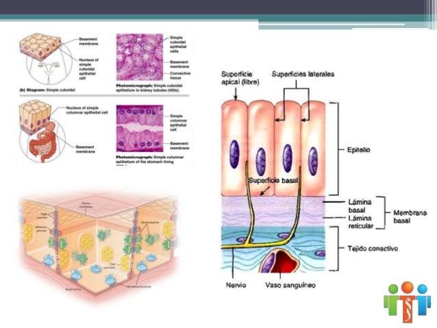 CLASIFICACIÓN SEGÚN SU FUNCIÓN Epitelio de revestimiento o pavimentoso Epitelio glandular Epitelio sensorial • Epitelio ol...