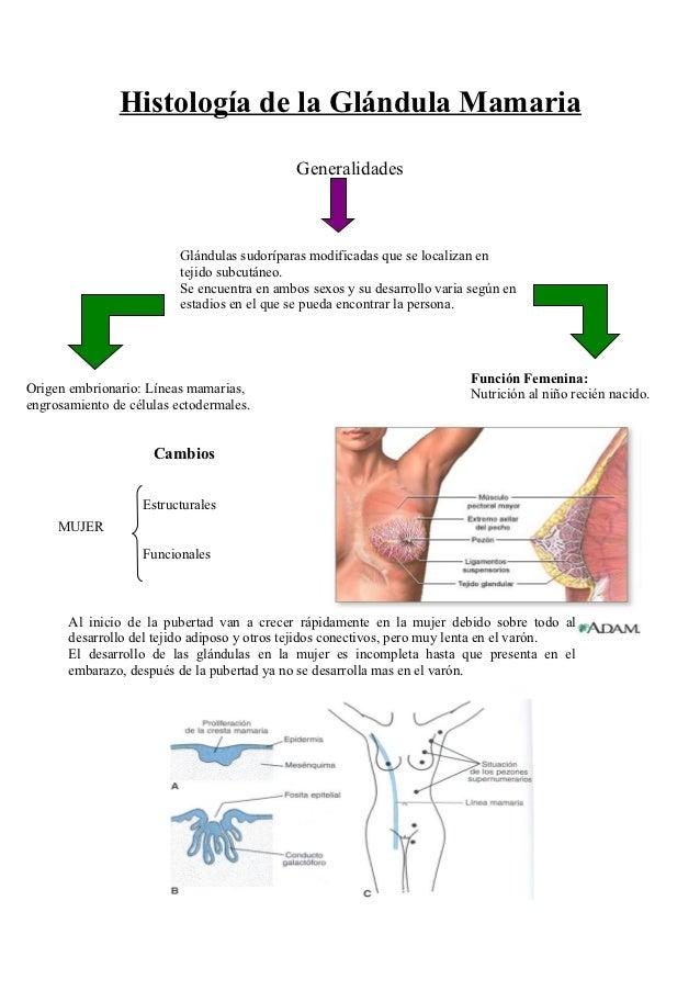 Histología de la glándula mamaria