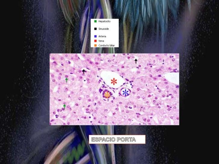 Células parenquimatosas = hepatocitos