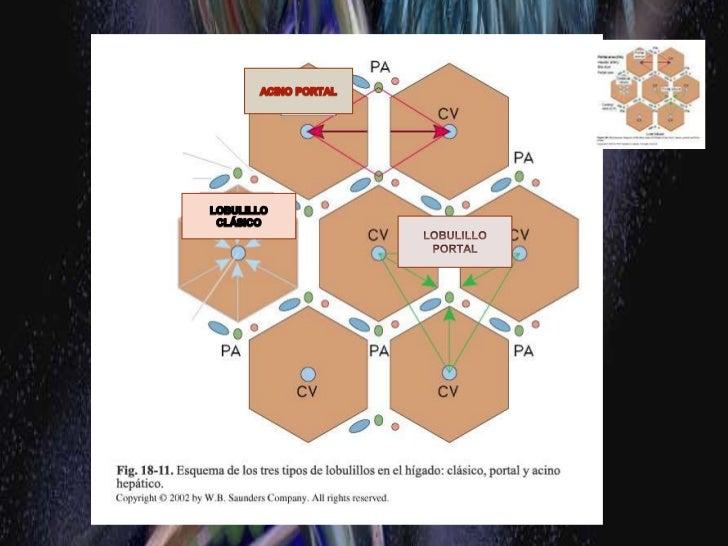 Estructura hepática general y aporte vascular<br />Todos los nutrientes que se absorben excepto los quilomicrones pasan po...