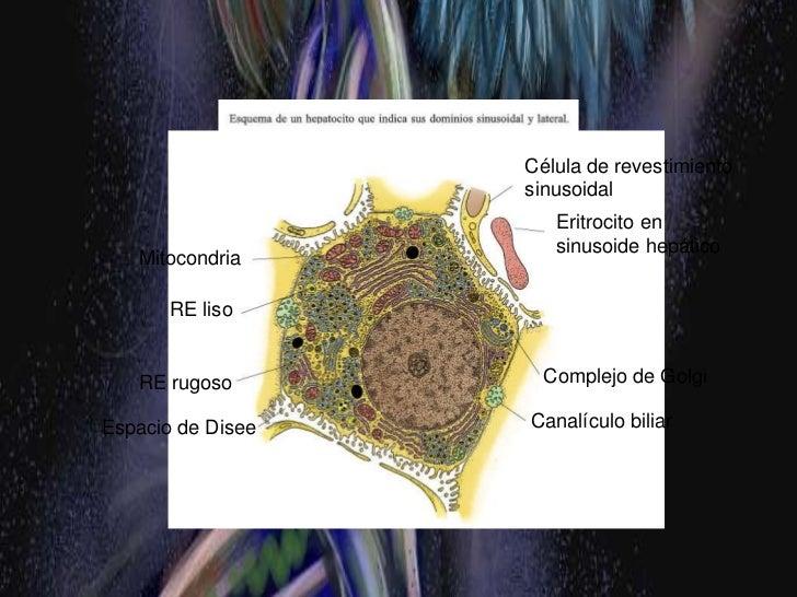 LOBULILLO PORTAL <br />      Región triangular cuyo centro es el área PORTAL y cuya periferia esta limitada por líneas rec...
