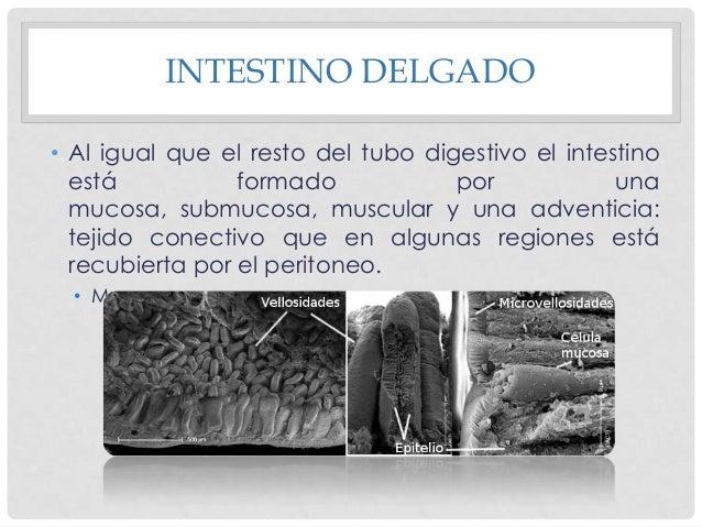 MUCOSA • La superficie del intestino está tapizada por otras expansiones de la mucosa más pequeñas, denominadas vellosidad...