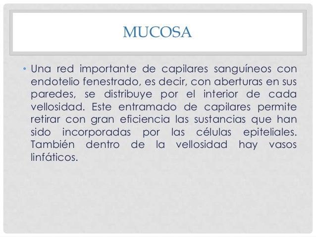 • La muscular de la mucosa contiene dos capas de fibras una interna circular y otra más externa con cuyas células se orien...