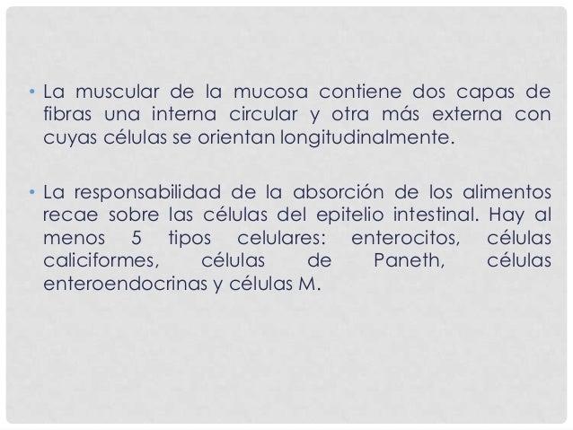 SUBMUCOSA • Está constituida por tejido conectivo denso, donde pueden aparecer adipocitos. En el duodeno la submucosa cont...