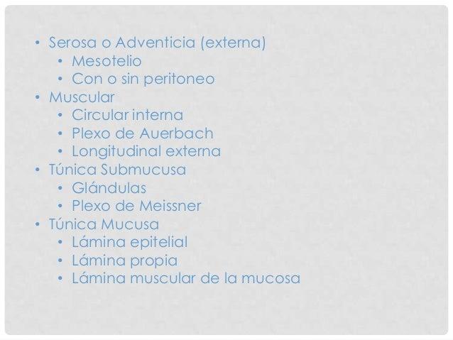 • Serosa o Adventicia (externa) • Mesotelio • Con o sin peritoneo • Muscular • Circular interna • Plexo de Auerbach • Long...