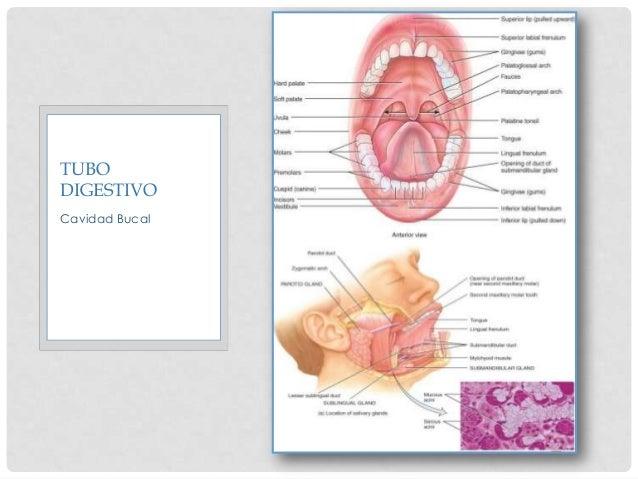 CAVIDAD ORAL • Labios: unión entre el tegumento externo y el sistema digestivo. • Recubiertos • Externamente: Piel • Inter...
