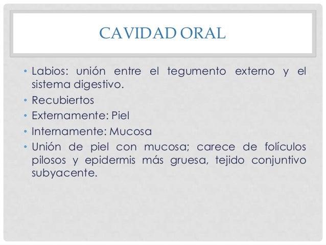 CAVIDAD ORAL Cara Interna • Epitelio escamoso estratificado queratinizado: rumiantes y caballos. • No queratinizado: Carní...