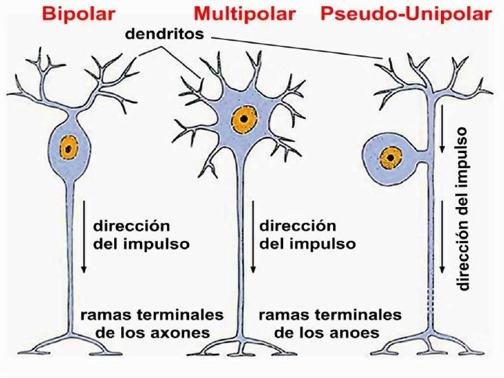 Resultado de imagen para clases de neuronas segun el numero de prolongaciones