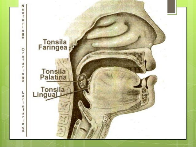 Histologia amigdalas