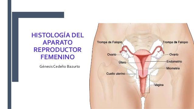 HISTOLOGÍA DEL APARATO REPRODUCTOR FEMENINO Génesis Cedeño Bazurto
