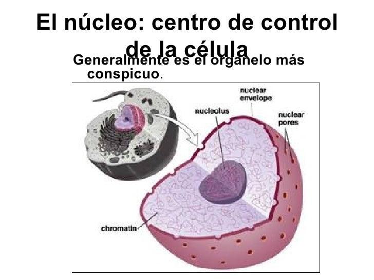 El núcleo: centro de control de la célula <ul><li>Generalmente es el organelo más conspicuo . </li></ul>