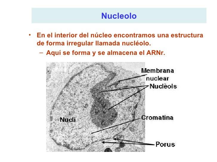 <ul><li>En el interior del núcleo encontramos una estructura de forma irregular llamada nucléolo. </li></ul><ul><ul><li>Aq...