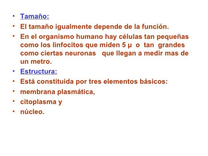 <ul><li>Tamaño: </li></ul><ul><li>El tamaño igualmente depende de la función. </li></ul><ul><li>En el organismo humano hay...