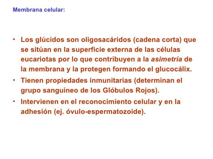 Membrana celular: <ul><li>Los glúcidos son oligosacáridos (cadena corta) que se sitúan en la superficie externa de las cél...