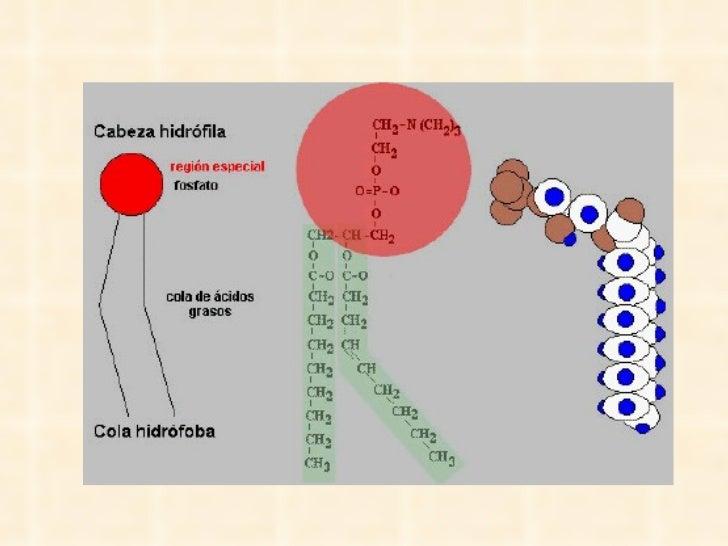 Esquemas de una molécula de fosfolípido