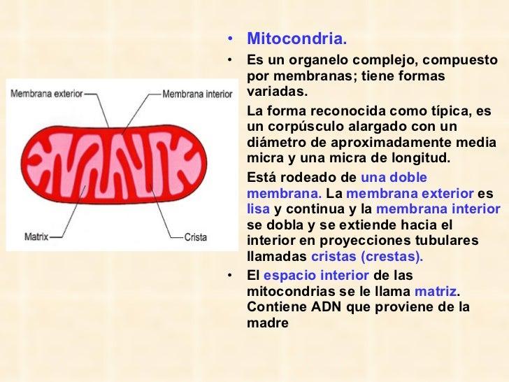 <ul><li>Mitocondria.   </li></ul><ul><li>Es un organelo complejo, compuesto por membranas; tiene formas variadas. </li></u...