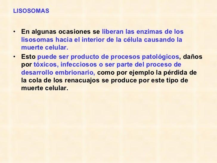 LISOSOMAS <ul><li>En algunas ocasiones se  liberan las enzimas de los lisosomas hacia el interior de la célula causando la...