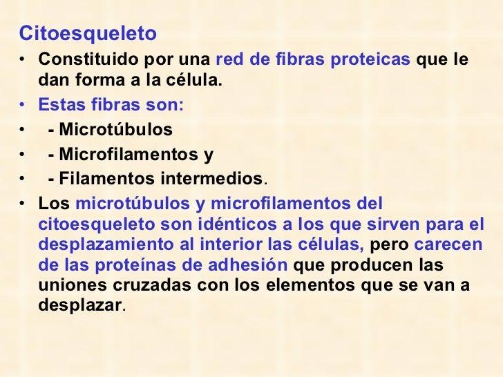 <ul><li>Citoesqueleto   </li></ul><ul><li>Constituido por una  red de fibras proteicas  que le dan forma a la célula. </li...