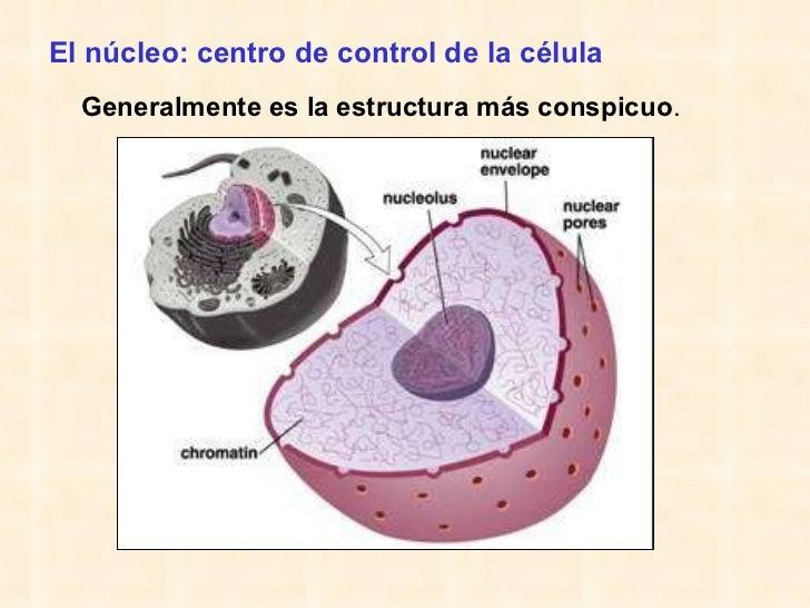 El núcleo: centro de control de la célula <ul><li>Generalmente es la estructura más conspicuo . </li></ul>