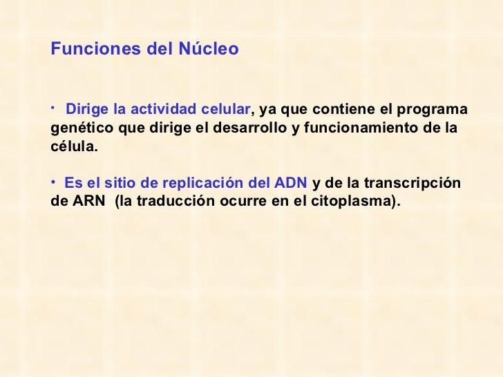 <ul><li>Funciones del Núcleo </li></ul><ul><li>Dirige la actividad celular , ya que contiene el programa genético que diri...