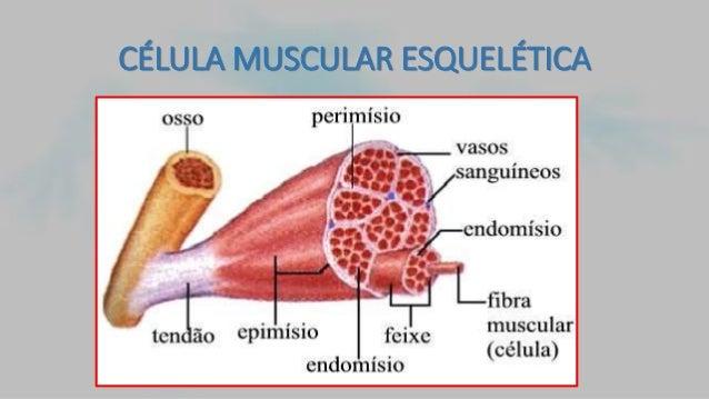 Histologia muscular