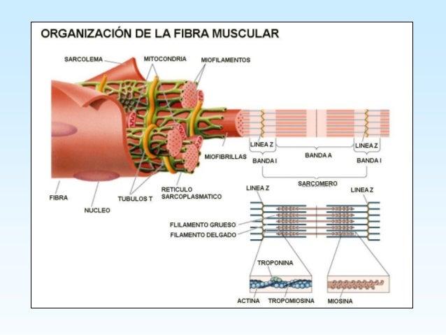 Histologia tejido muscular