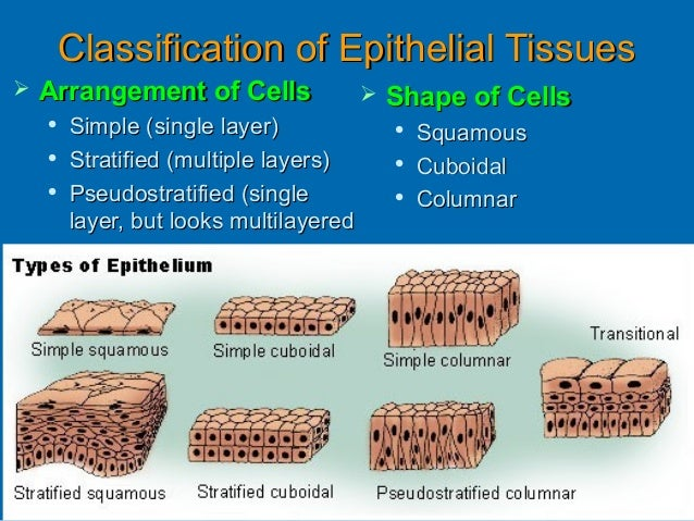 properties of epithelial tissue