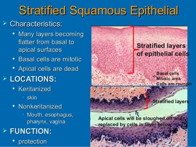 Histology Epithelial Tissue