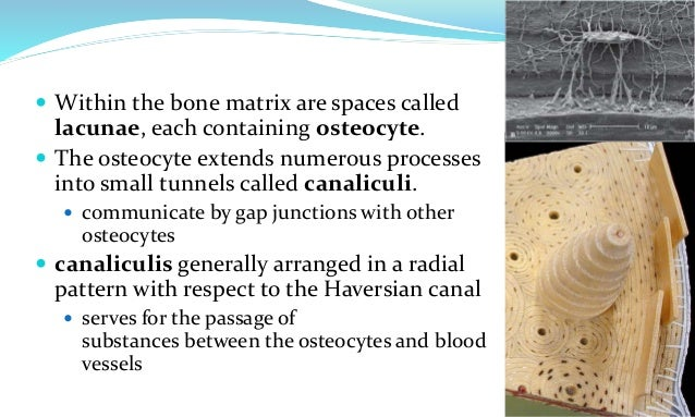 Histology of bone