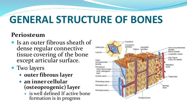 histology of bone, Human Body