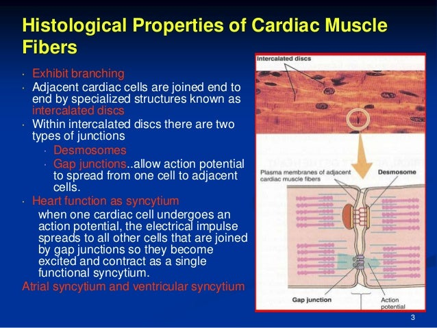 histology of cardiac muscle, Human body
