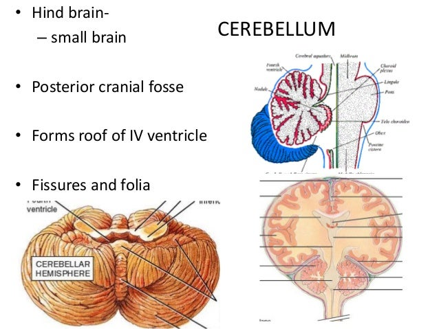 Histology of cerebrum and cerebellum cerebellum hind brain ccuart Choice Image