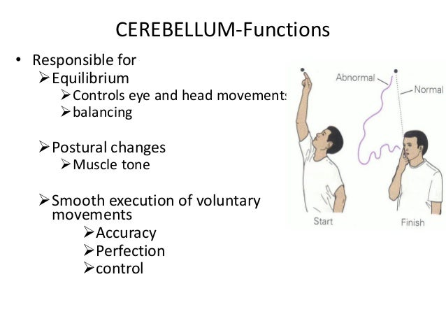histology of cerebrum and cerebellum, Human Body