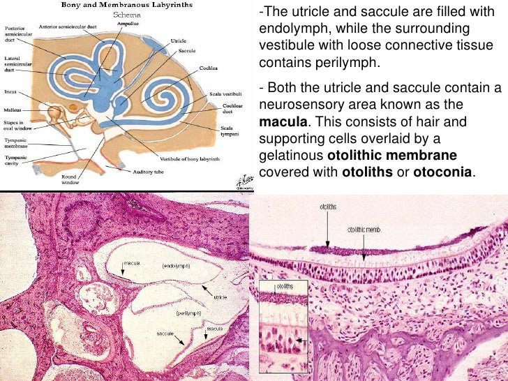 Histology of earUtricle And Saccule Histology