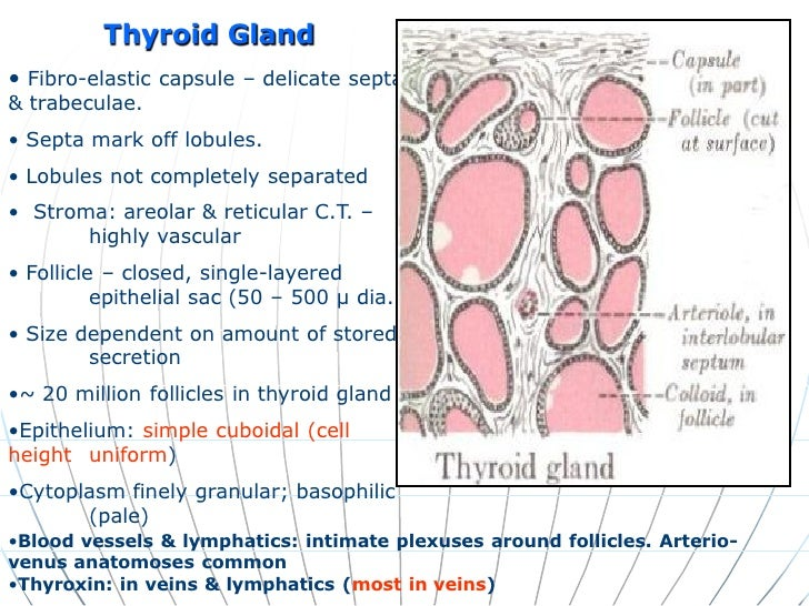 Histology Of Endocrine System